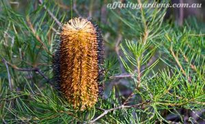 native plants value of australian natives banksia spinulosa