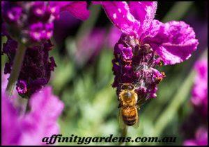 edible gardens and edible plants bee on lavender